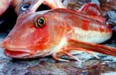 Kırlangıç Balığı Kilosu 100 Liradan Satışa Çıktı