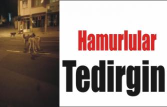 Hamur'da Başıboş Köpekler Tehlike Saçıyor